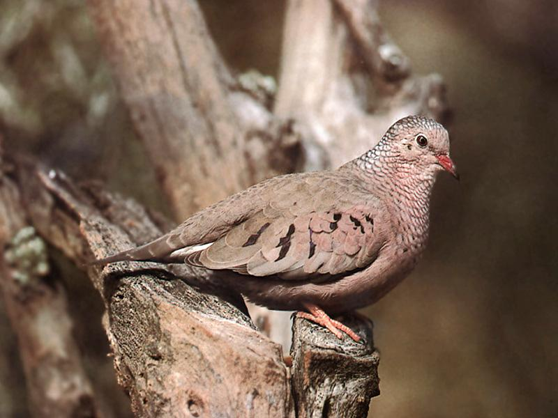Common Ground-Dove (Columbina passerina) {!--땅비둘기-->; Image ONLY