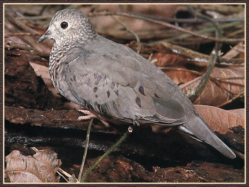 Common Ground-Dove (Columbina passerina) <!--땅비둘기-->; Image ONLY
