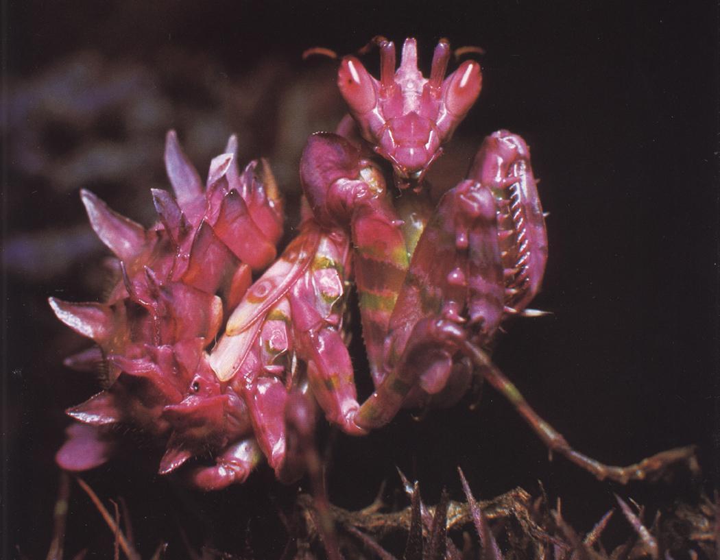 Pink Flower Praying Mantis