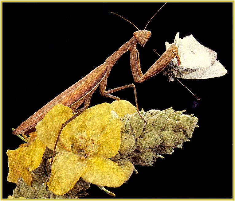 European Praying Mantis (Mantis religiosa) {!--황라사마귀(유럽)-->; Image ONLY