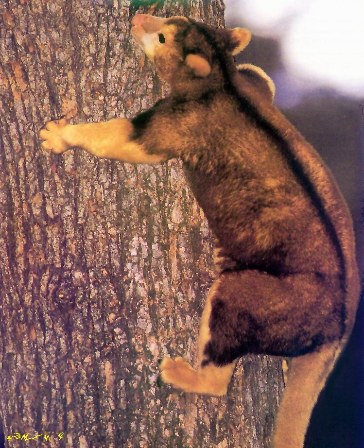 Tree Kangaroo (Dendrolagus sp.) <!--나무타기캥거루-->; Image ONLY