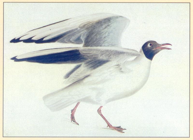 [Animal Art] Black-headed Gull (Larus ridibundus) <!--붉은부리갈매기-->; Image ONLY