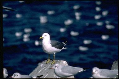 Black-tailed Gull (Larus crassirostris) <!--괭이갈매기-->; Image ONLY