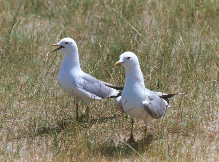 Common Gull pair (Larus canus) <!--갈매기-->; Image ONLY