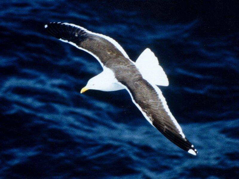 Kelp Gull = Southern Black-backed Gull (Larus dominicanus) <!--도미니카갈매기-->; Image ONLY