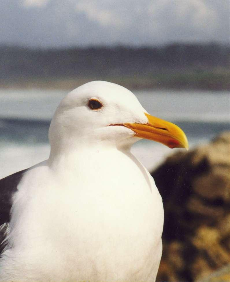 Western Gull (Larus occidentalis) <!--서부갈매기(북미)-->; Image ONLY