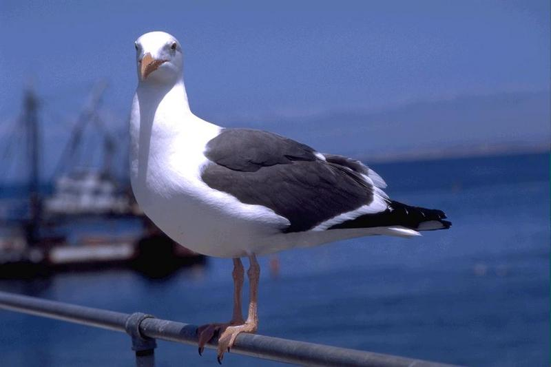 Western Gull (Larus occidentalis) <!--서부갈매기(북미)-->; DISPLAY FULL IMAGE.