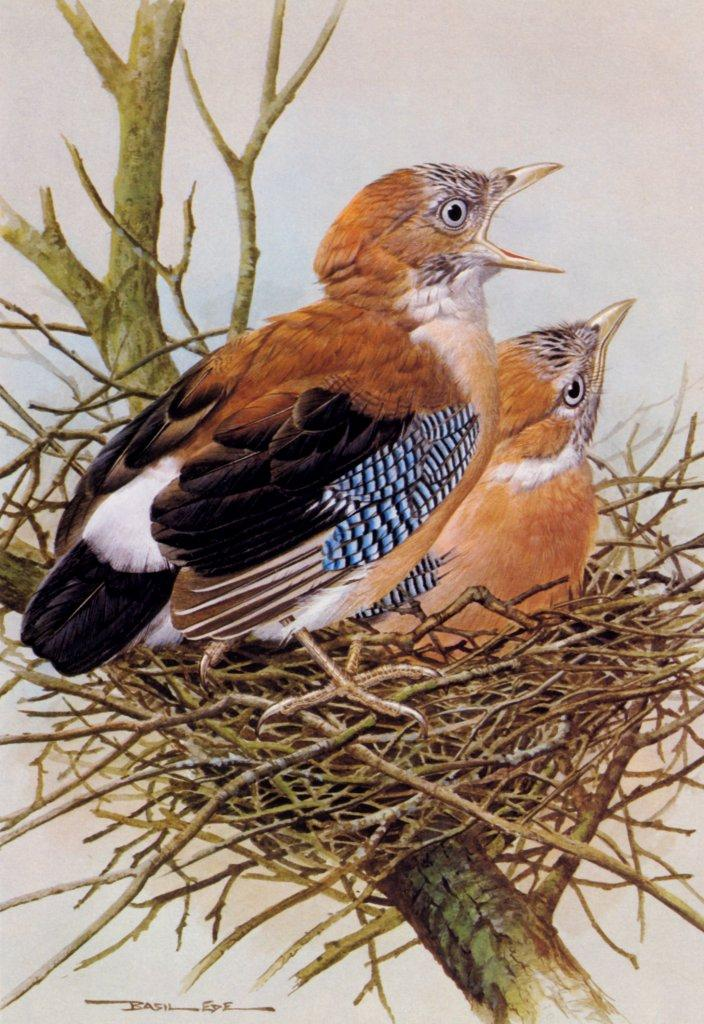 [Animal Art - Basil Ede] Eurasian Jay pair on nest (Garrulus glandarius) <!--어치-->; Image ONLY