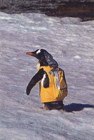 Gentoo Penguin in radio jacket (Pygoscelis papua) {!--젠투펭귄-->; Image ONLY