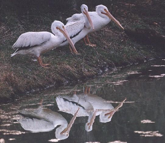 Pelicans Pelecanus Erythrorhynchos: American White Pelicans (Pelecanus Erythrorhynchos