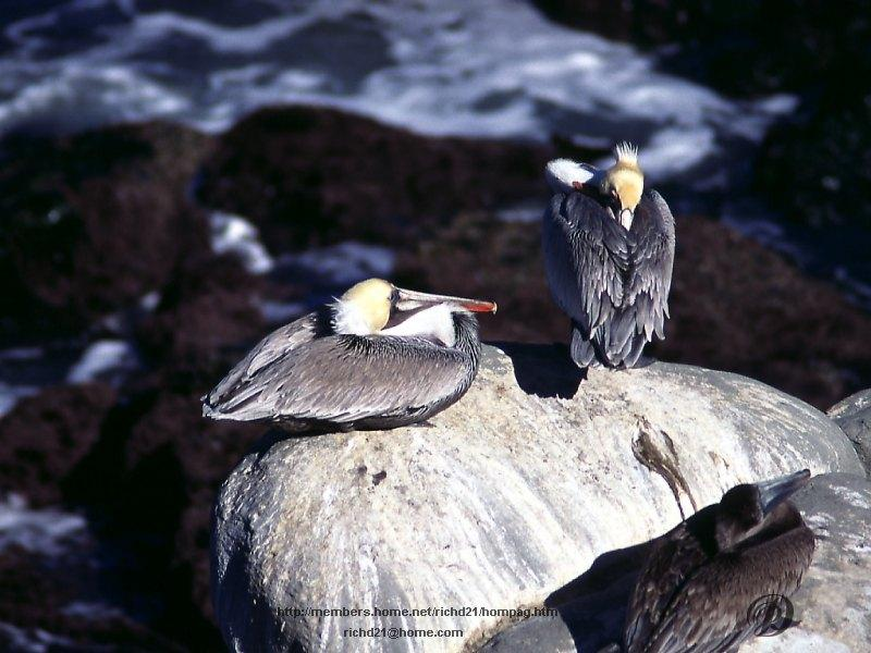 Brown Pelican pair (Pelecanus occidentalis) <!--갈색사다새-->; Image ONLY