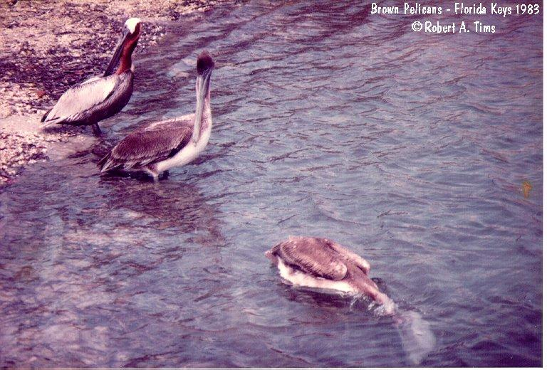 Brown Pelicans (Pelecanus occidentalis) <!--갈색사다새-->; Image ONLY