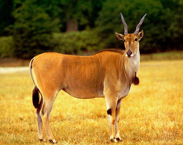 Common Eland (Taurotragus oryx) <!--일런드영양(----羚羊)-->; Image ONLY
