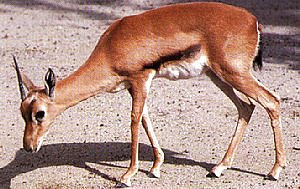 Red-fronted Gazelle (Gazella rufifrons) <!--붉은이마가젤영양(--羚羊)-->; Image ONLY