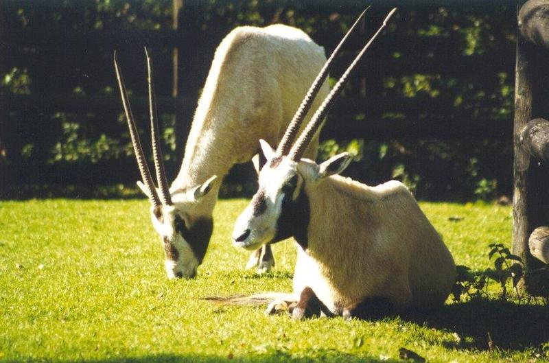 Arabian Oryx (Oryx leucoryx) <!--아라비아오릭스-->; DISPLAY FULL IMAGE.