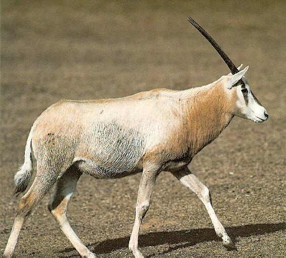 Single horned african animals