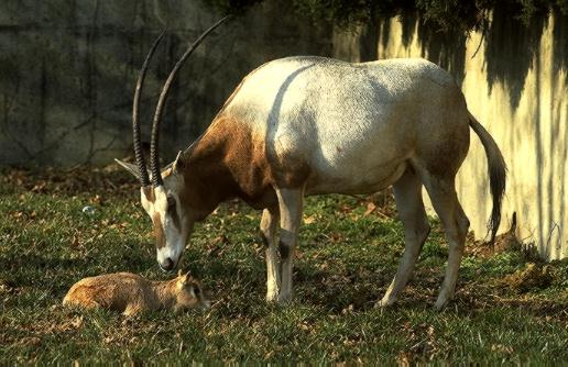 Scimitar-horned Oryx & calf (Oryx dammah) <!--굽은뿔오릭스-->; Image ONLY