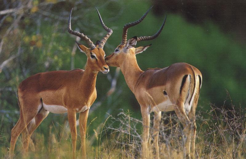 Impala (Aepyceros melampus) {!--임팔라영양-->; DISPLAY FULL IMAGE. - photo#31