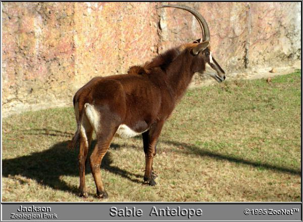 Sable Antelope (Hippotragus niger) {!--세이블영양,흑영양(黑羚羊)-->; Image ONLY