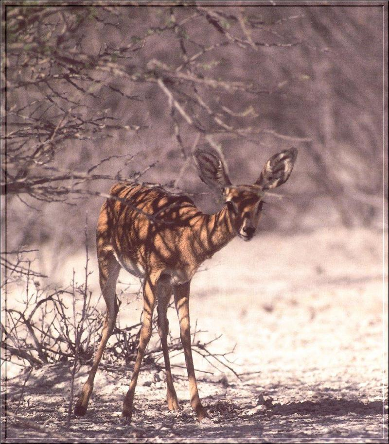 Steenbok (Raphicerus campestris) {!--스틴복영양(---羚羊)-->; DISPLAY FULL IMAGE.
