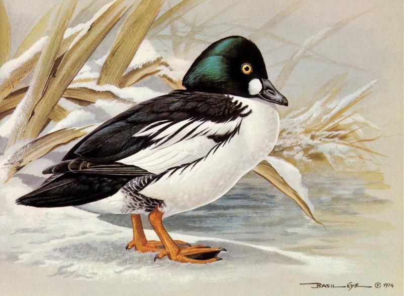 [Animal Art - Basil Ede] Common Goldeneye (Bucephala clangula) <!--흰뺨오리-->; DISPLAY FULL IMAGE.