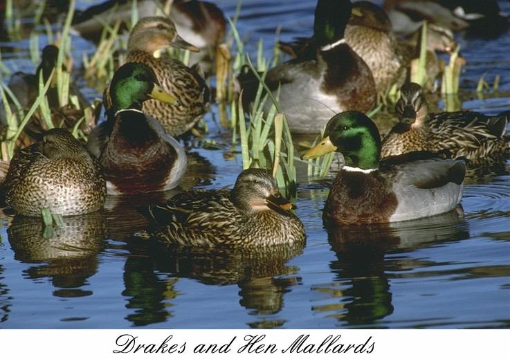 42mlard-Mallard ducks-flock in swamp.jpg
