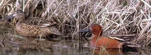Cinnamon Teal06-Pair-In-Swamp.jpg