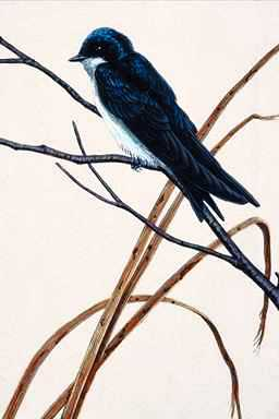 [Animal Art] Tree Swallow (Tachycineta bicolor) <!--청둥제비-->; Image ONLY