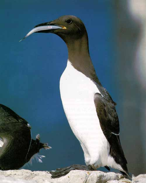 Guillemot, Common Murre (Uria aalge) <!--바다오리-->; Image ONLY