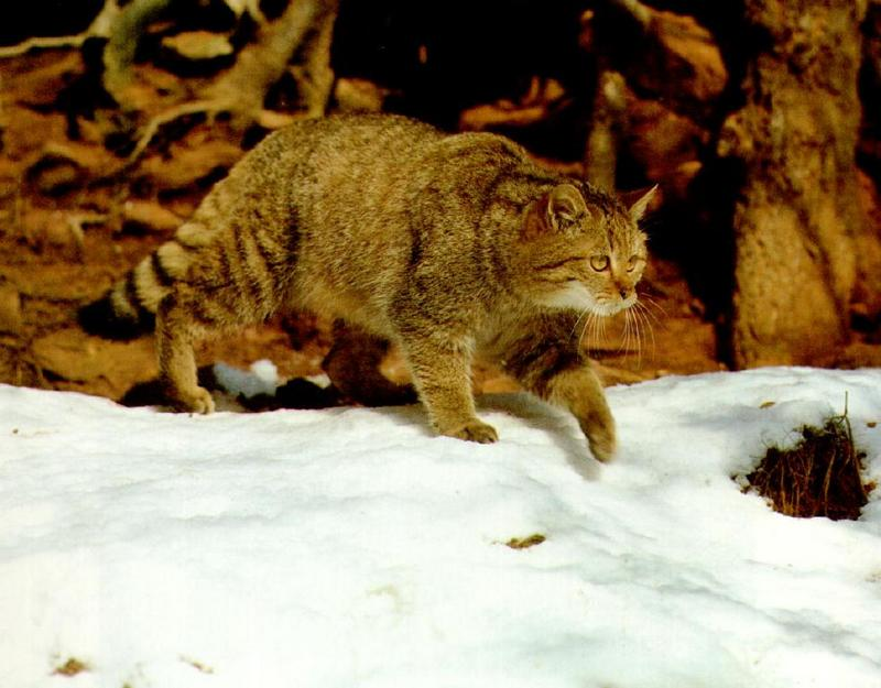 European Wild Cat Felis Silvestris Silvestris 유럽들고양이