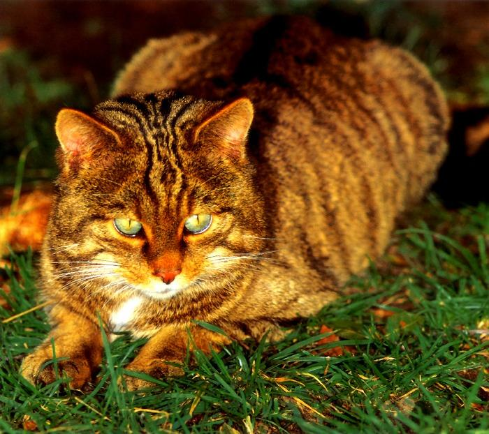 (European) Scottish  Wild Cat (Felis silvestris silvestris) <!--유럽들고양이-->; Image ONLY