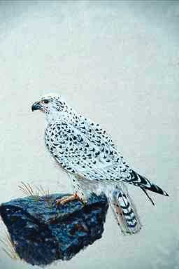 Gyrfalcon (Falco rusticolus) {!--흰매-->; Image ONLY