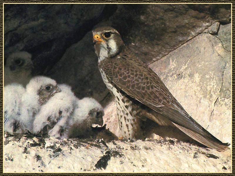 Prairie Falcon & chicks (Falco mexicanus) <!--멕시코초원매-->; Image ONLY