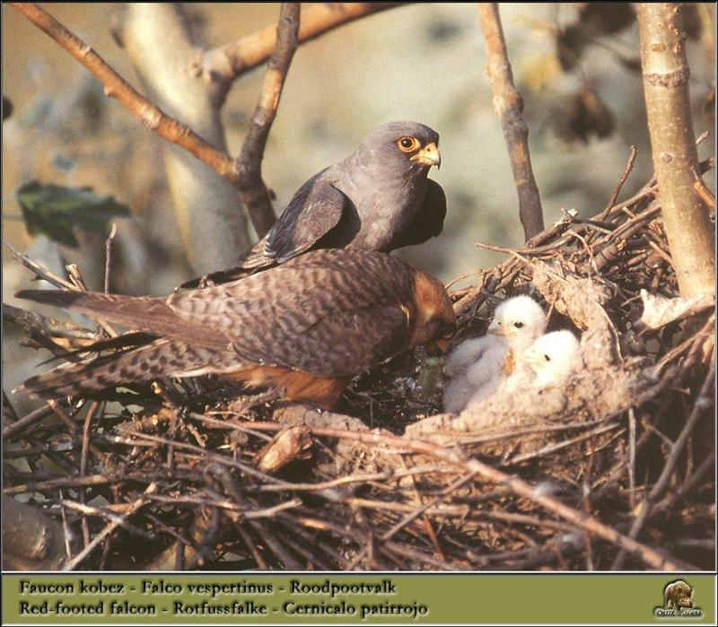 Red-footed Falcon pair & chicks on nest (Falco vespertinus) <!--비둘기조롱이-->; DISPLAY FULL IMAGE.