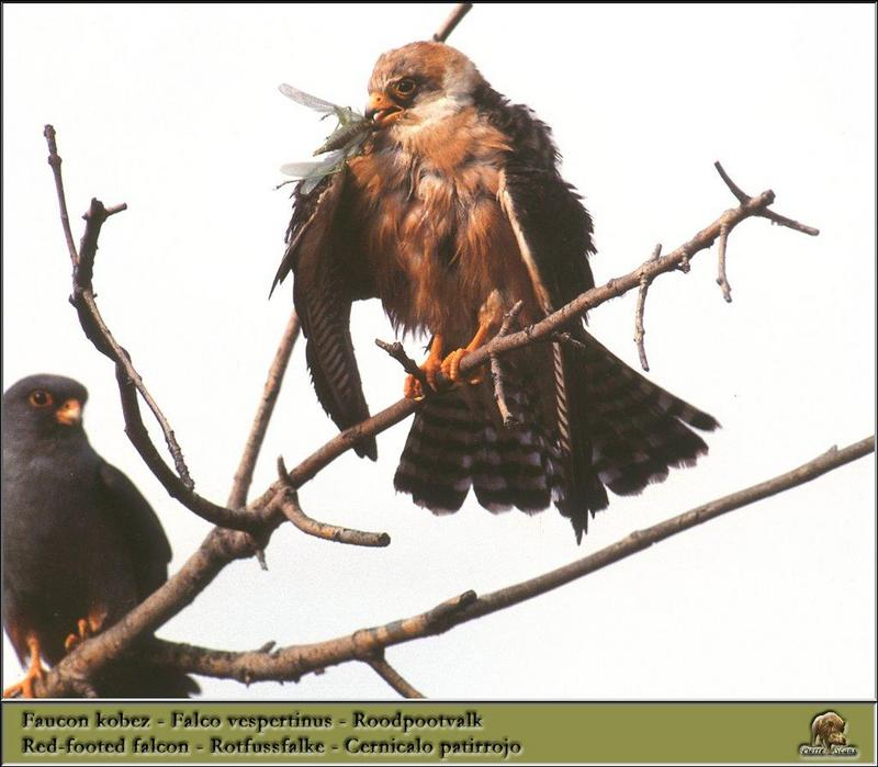 Red-footed Falcons (Falco vespertinus) <!--비둘기조롱이-->; DISPLAY FULL IMAGE.