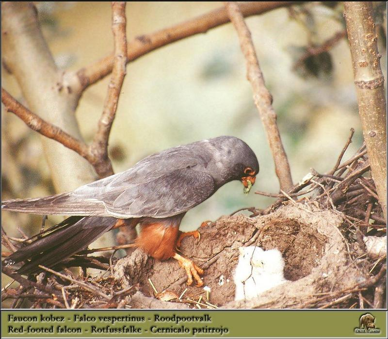 Red-footed Falcon & chicks (Falco vespertinus) <!--비둘기조롱이-->; DISPLAY FULL IMAGE.