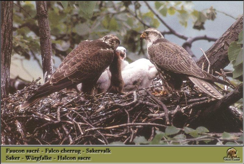 Saker Falcons & chicks on nest (Falco cherrug) {!--헨다손매-->; DISPLAY FULL IMAGE.