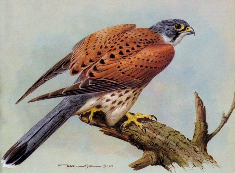 [Animal Art - Basil Ede] Common Kestrel (Falco tinnunculus) <!--황조롱이-->; DISPLAY FULL IMAGE.
