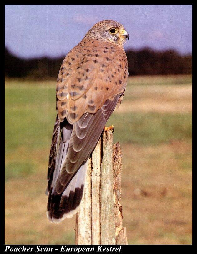 Common Kestrel (Falco tinnunculus) <!--황조롱이(유럽)-->; Image ONLY