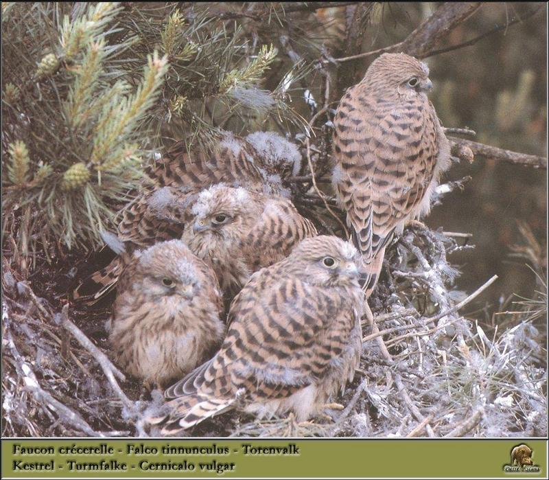 Common Kestrel juveniles (Falco tinnunculus) <!--황조롱이(유럽)-->; DISPLAY FULL IMAGE.