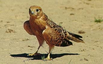 Greater Kestrel (Falco rupicoloides) <!--큰황조롱이(아프리카)-->; Image ONLY