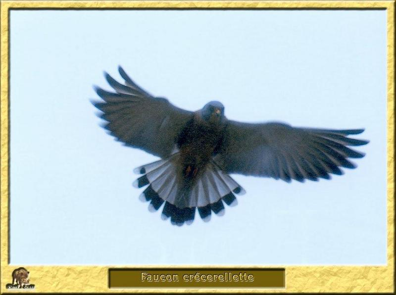 Lesser Kestrel in flight (Falco naumanni) <!--작은황조롱이(유럽)-->; DISPLAY FULL IMAGE.