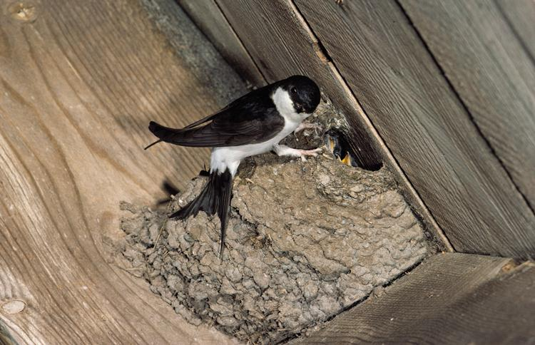 Northern House-martin (Delichon urbica) <!--흰털발제비-->; Image ONLY