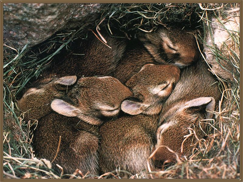 Eastern Cottontail Rabbits (Sylvilagus floridanus) <!--동부솜꼬리토끼-->; Image ONLY
