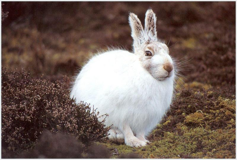 Mountain Hare (Lepus timidus) <!--유럽멧토끼-->; DISPLAY FULL IMAGE.