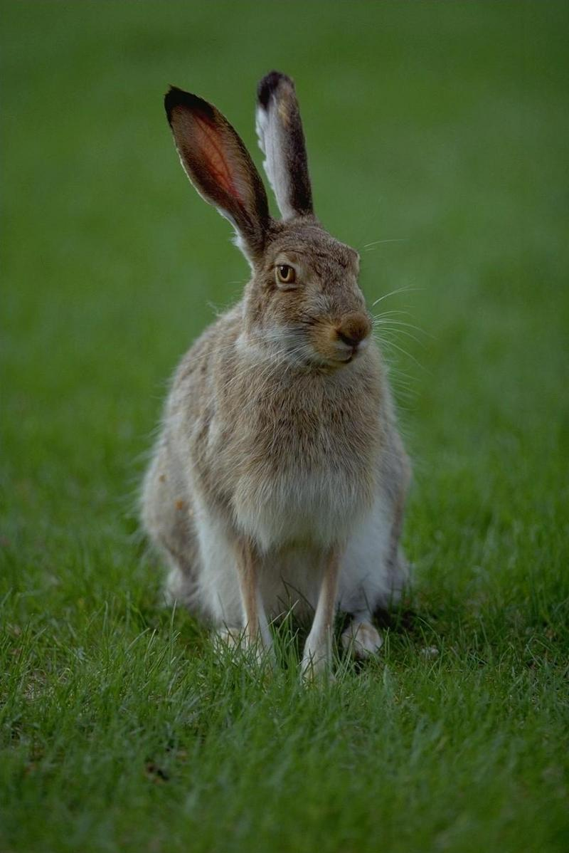 Hare (Lepus sp.) <!--멧토끼류-->; DISPLAY FULL IMAGE.