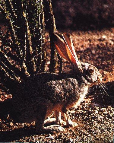 Black-tailed Jackrabbit (Lepus californicus) <!--검은꼬리멧토끼(캘리포니아멧토끼)-->; Image ONLY
