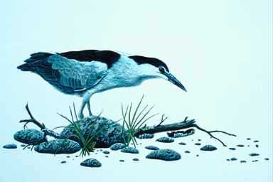 [Animal Art] Black-crowned Night Heron (Nycticorax nycticorax) <!--해오라기-->; Image ONLY