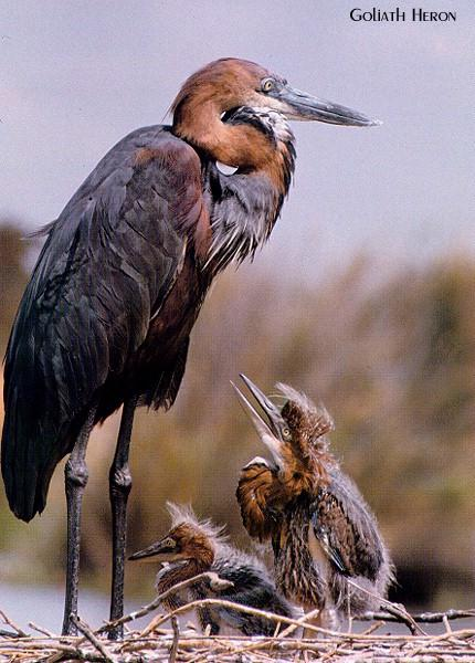 Goliath Heron (Ardea goliath) <!--도깨비왜가리(골리앗왜가리)-->; Image ONLY