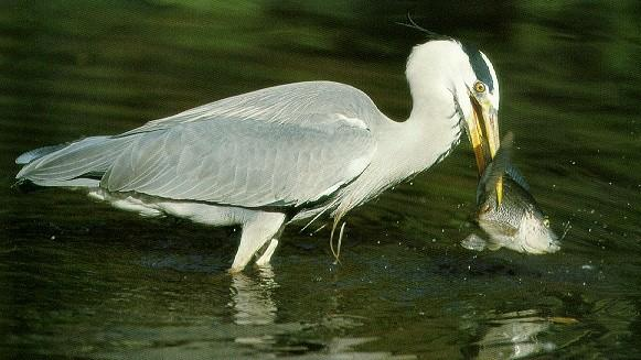 Grey Heron (Ardea cinerea) <!--왜가리(아프리카)-->; Image ONLY
